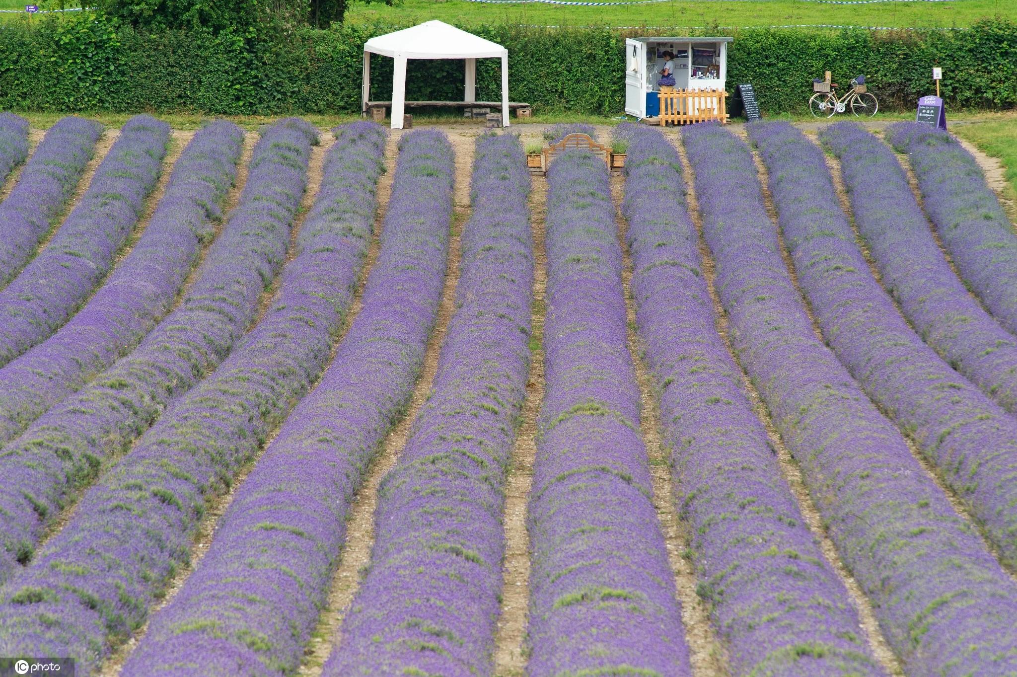 浪漫到极致!英国紫色薰衣草花海盛放