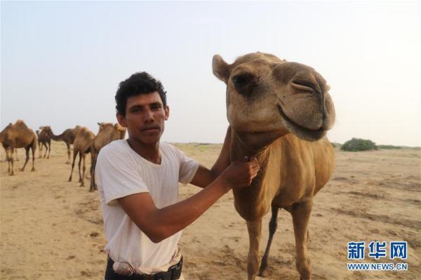 也门:放牧骆驼_中国网客户端