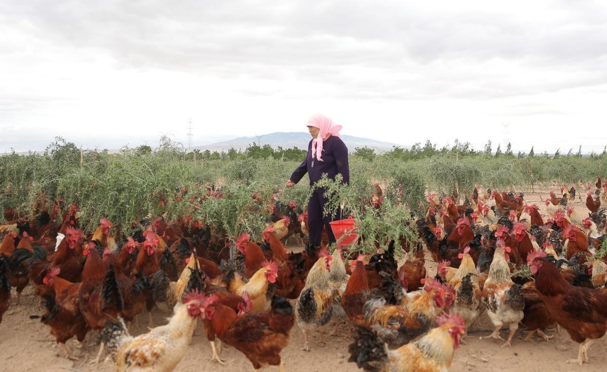 【走向我们的小康生活】吃枸杞的美杞鸡