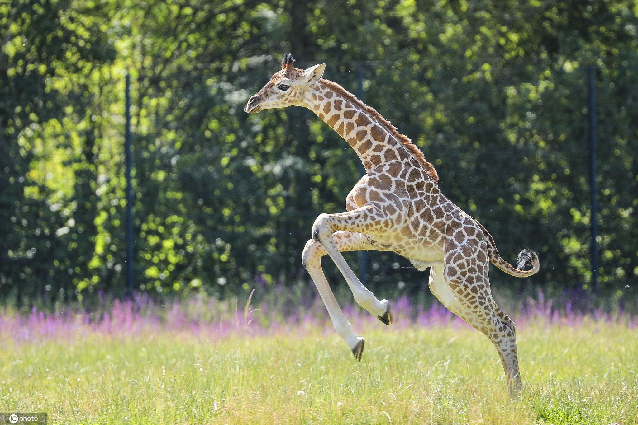 柏林动物园诞生濒危罗氏小长颈鹿嬉戏