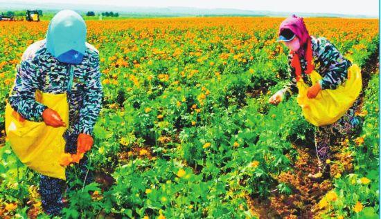 金莲花和大豆套种实现收益翻番
