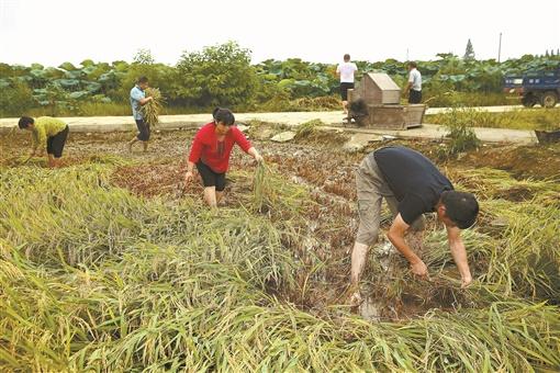 湖南日报|抢收水稻