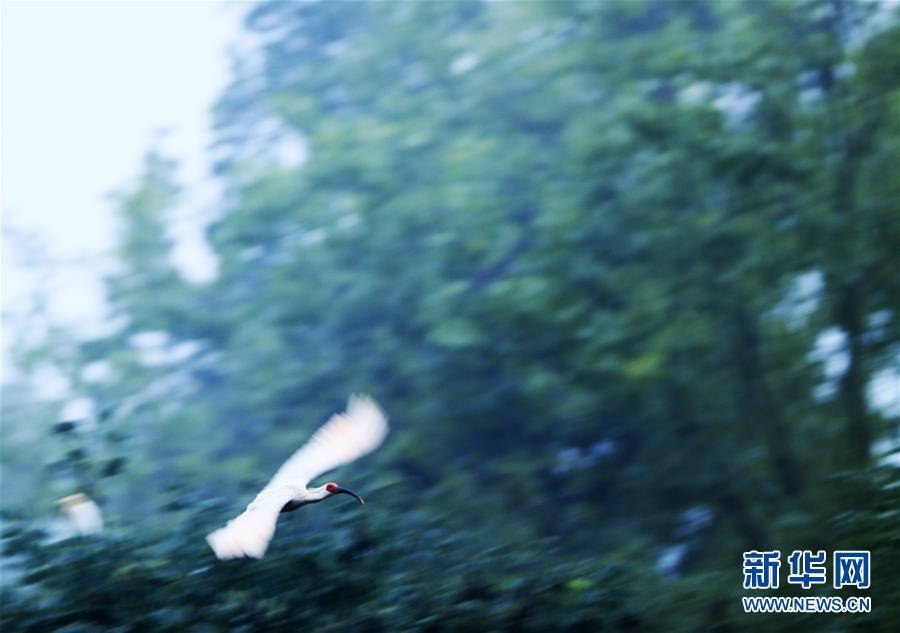 """(环境)(7)""""朱鹮之乡""""随处见朱鹮"""