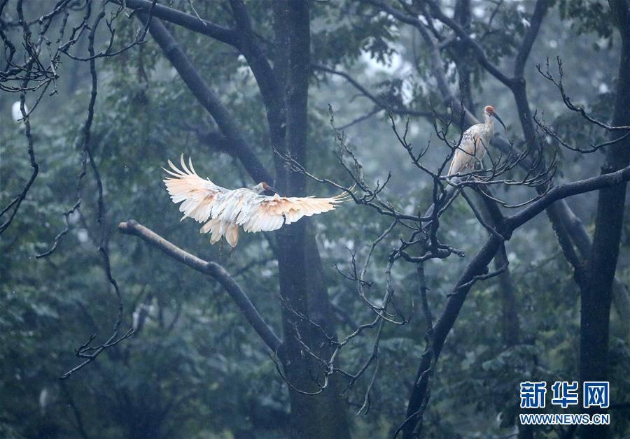 """(环境)(13)""""朱鹮之乡""""随处见朱鹮"""