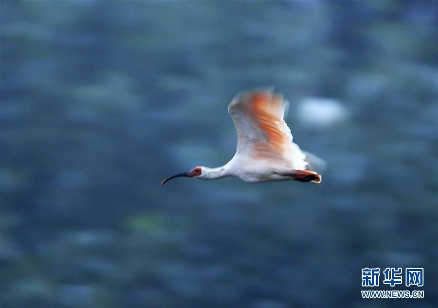 """(环境)(14)""""朱鹮之乡""""随处见朱鹮"""