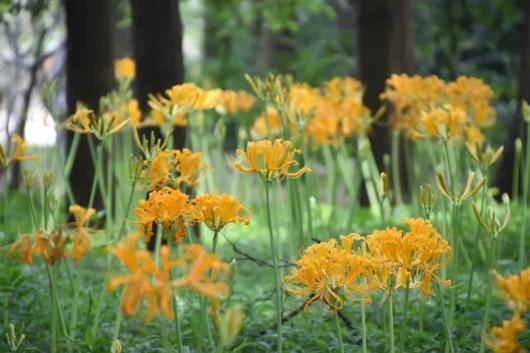 申城石蒜花进入花期,这5处赏花地你打卡了吗?