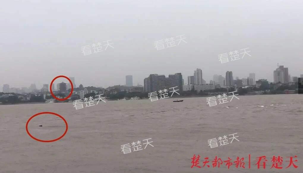 长江江豚与黄鹤楼同框