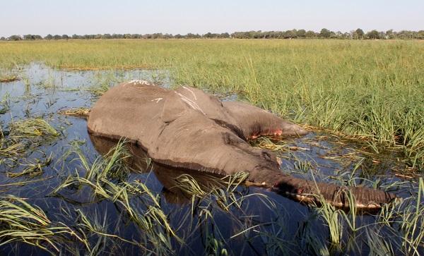 博茨瓦納鎖定致死數百頭大象元兇