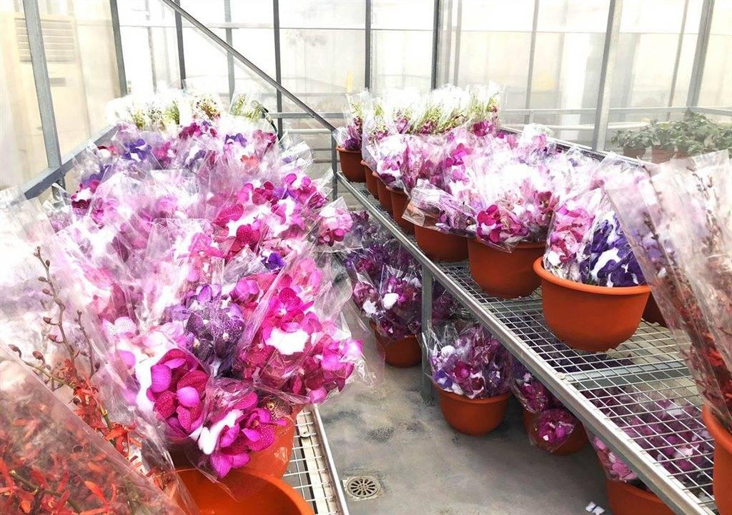 第五届上海国际兰展明天开幕 千余株进口兰花带来异域风情