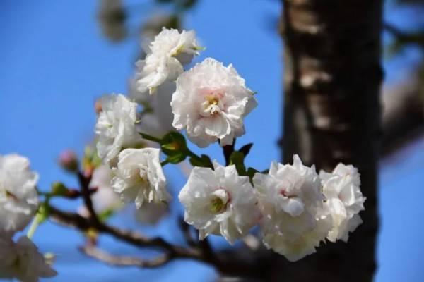 错过了春天的樱花?淡红的秋樱在阳光中摇曳