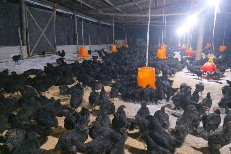 百城千县万村调研行| 合江回洞桥村:养鸡产业带动7个村6100人致富,贫困户开民宿翻身当老板