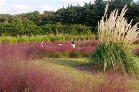 颜值爆表的粉黛乱子草为啥起这名?辰山植物园专家揭示它的浪漫花语