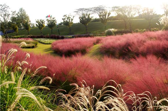 顏值爆表的粉黛亂子草為啥起這名?辰山植物園