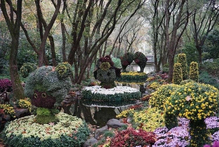 上海菊花展开幕倒计时 历届水上花境大PK