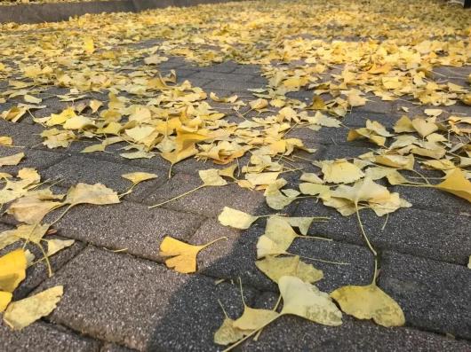 银杏、石榴、悬铃木......一起来欣赏黄浦古树的秋景