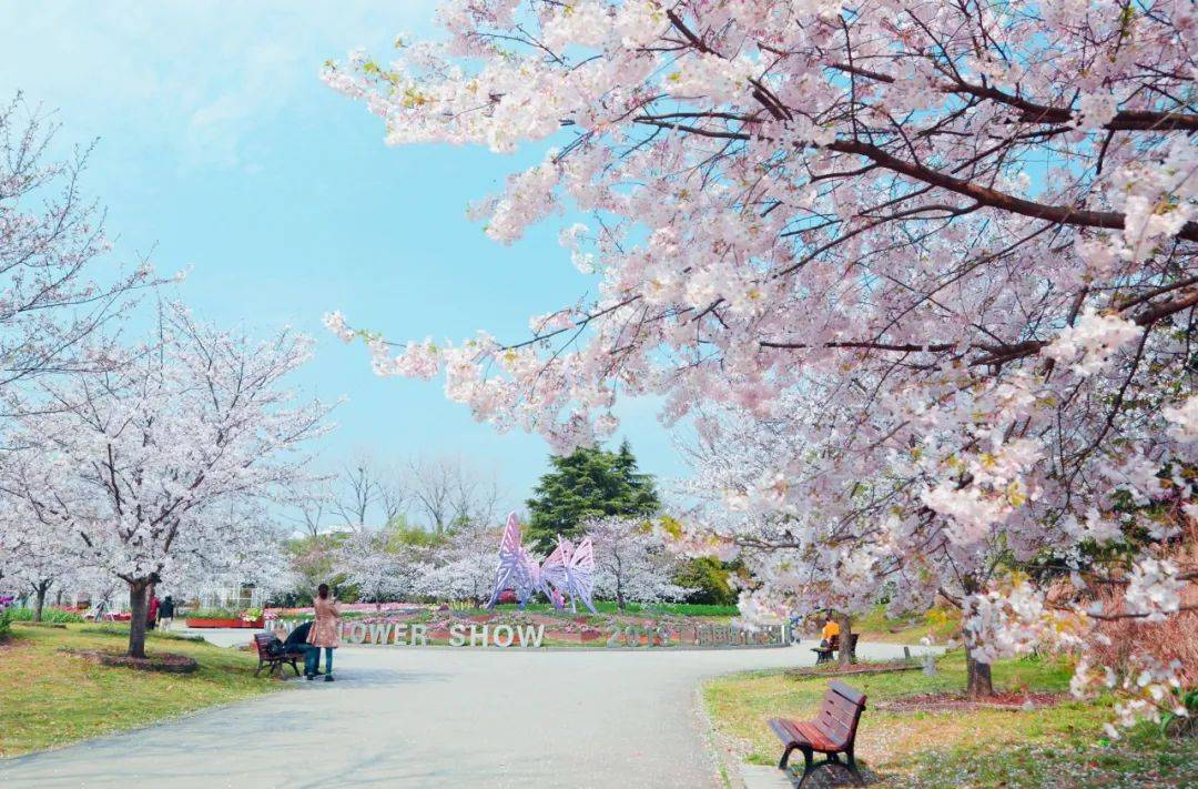 北树南移 上海植物园着手打造全新赏樱打卡地