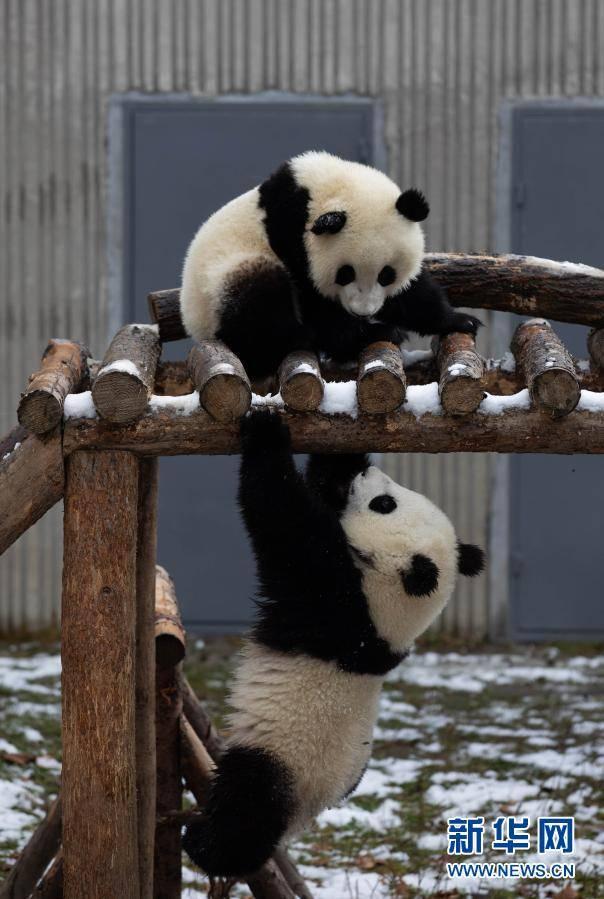 《【杏耀登陆地址】熊猫戏雪》