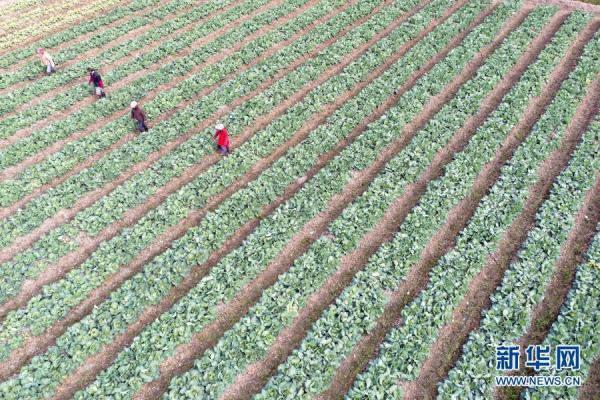 農田共營帶動村集體和農戶持續增收[組圖]