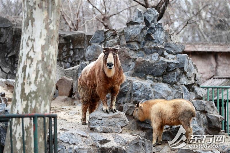 """""""所有的羊都是牛""""  不信?那就去上海动物园"""