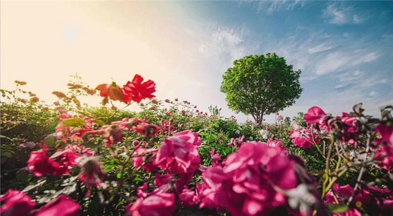 2021上海月季展顺利闭幕 线上线下共吸引95万赏花客