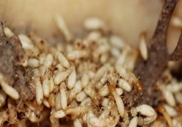 白蚁与蚂蚁如何区分?家里遇到白蚁怎么办?这些贴士请收好!