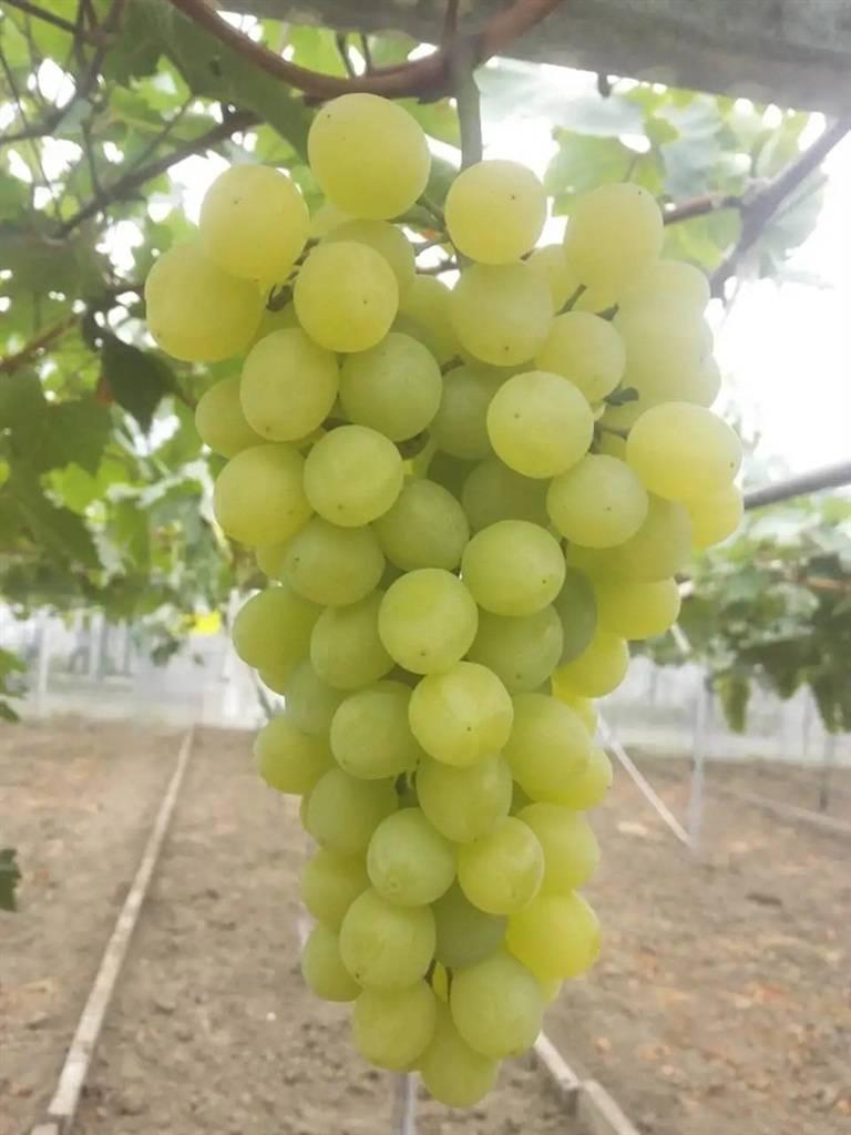 10年未涨价 马陆葡萄今起上市,下周末开放采摘