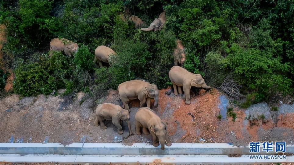 刚刚进入玉溪红塔区,野象要去哪儿?