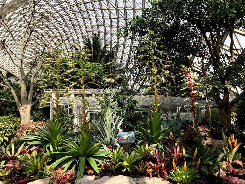 进击的凤梨!辰山植物园大型卷瓣凤梨开花再创新高度