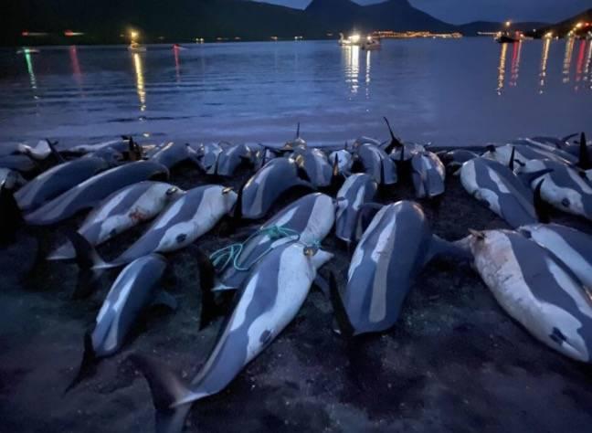 1428只海豚被捕杀,法罗群岛将对海豚捕捞的未来进行评估