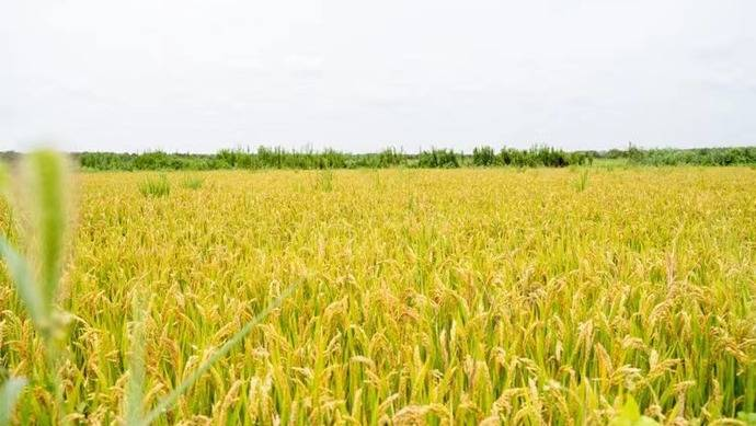 空气中弥漫稻谷清香,不用化学肥料、不施化学农药的好米又上市了...