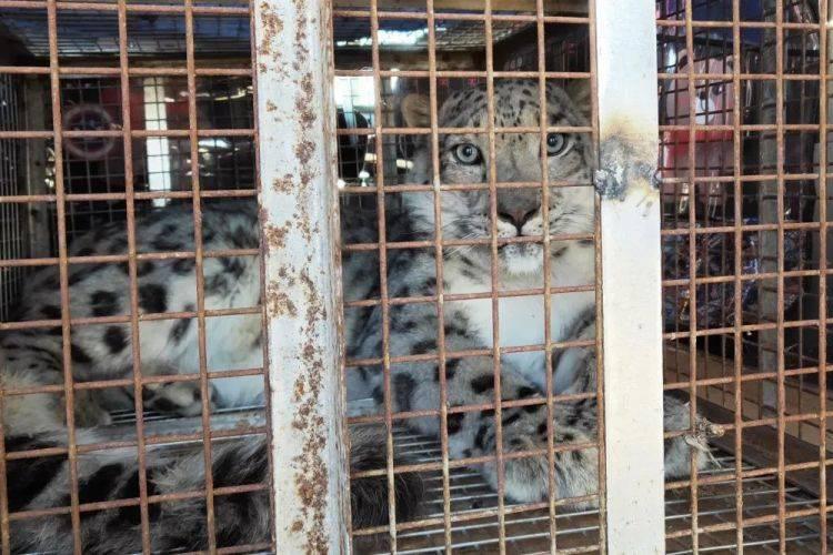 内蒙古救护的那只雪豹被放归,网友:状态挺好的