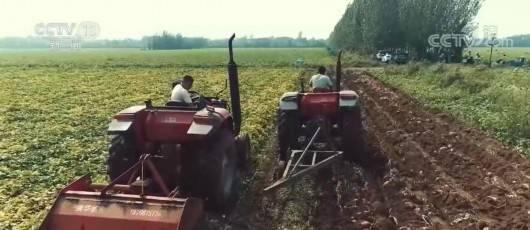 【丰收中国】山东济宁:甘薯迎丰收 农民收获忙