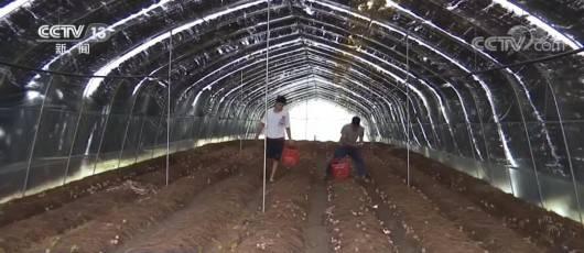 【丰收中国】贵州安龙:种植红托竹荪 带动农户增收