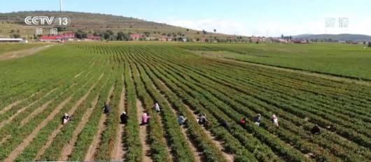 【丰收中国】宁夏海原:辣椒丰收忙采摘 带动农户增收致富