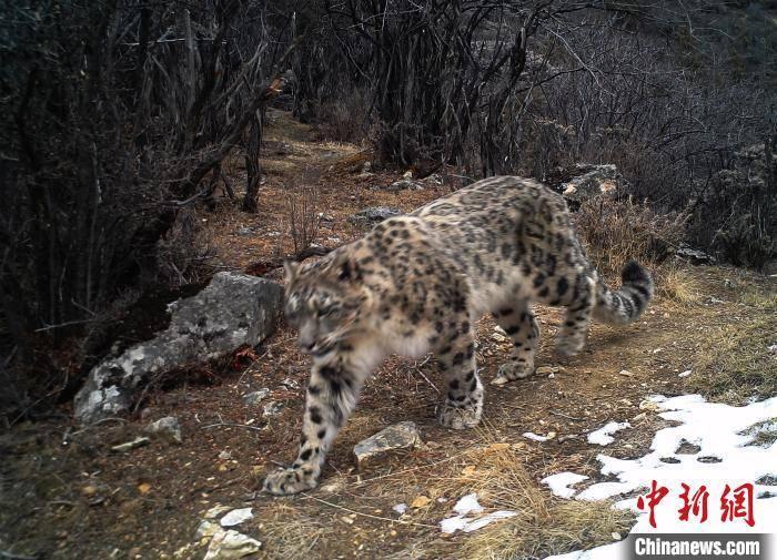 西藏首次记录到雪豹和金钱豹同域分布影像