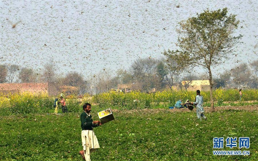 (国际)(1)巴基斯坦东部蝗灾肆虐