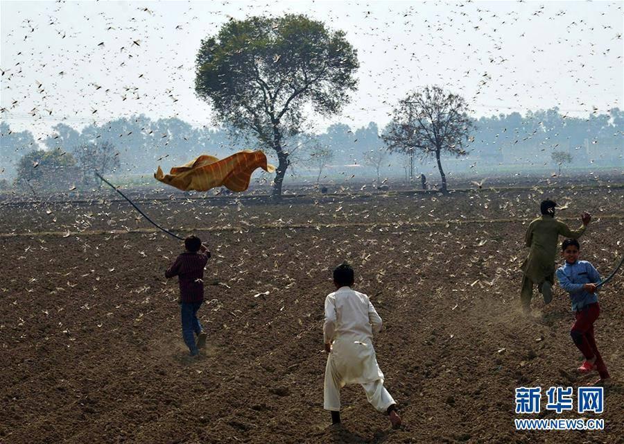 (国际)(4)巴基斯坦东部蝗灾肆虐