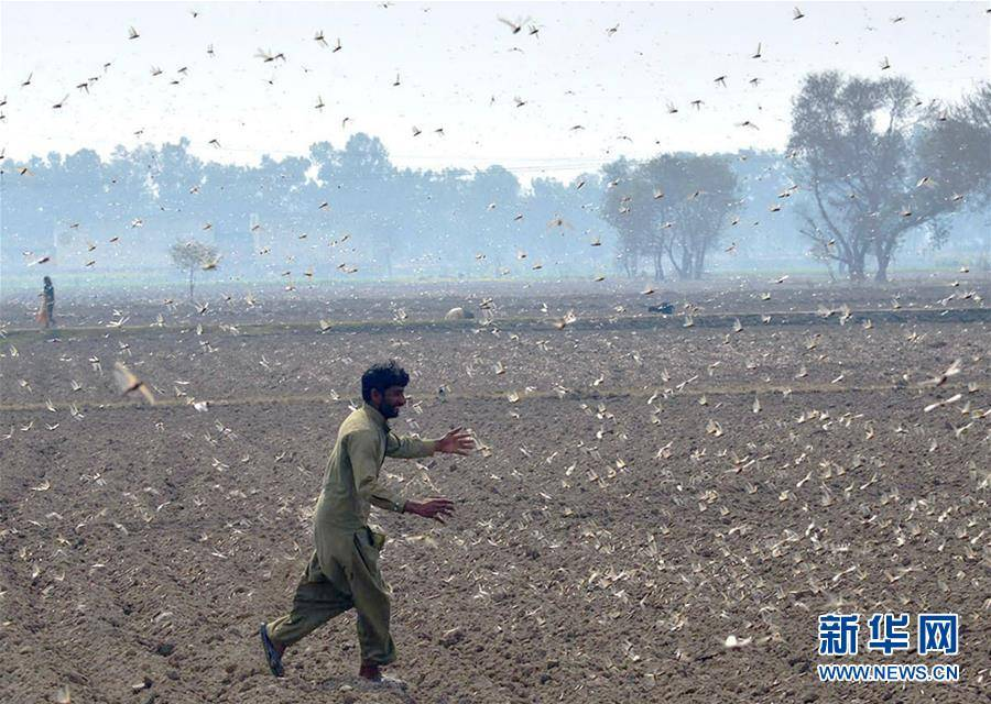 (国际)(6)巴基斯坦东部蝗灾肆虐