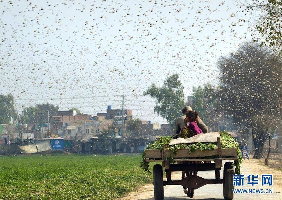 (国际)(7)巴基斯坦东部蝗灾肆虐