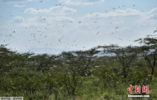外媒:东非遇25年来最严重蝗灾?全球变暖或是诱因