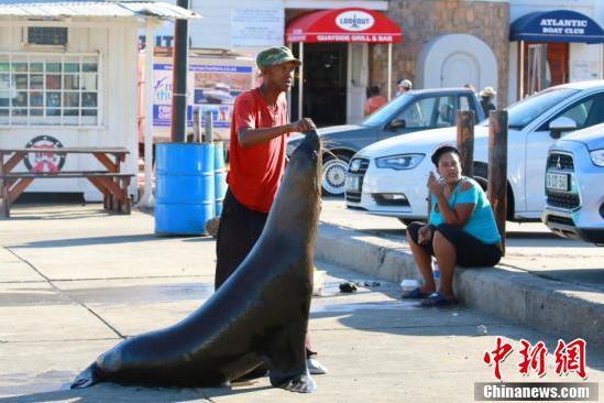 南非海豹島海豹成群 親近人類360德州扑克
